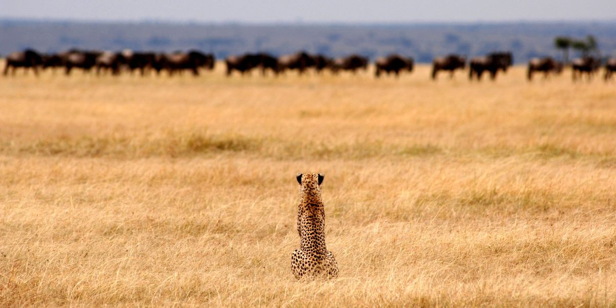 Cheetah on the plains