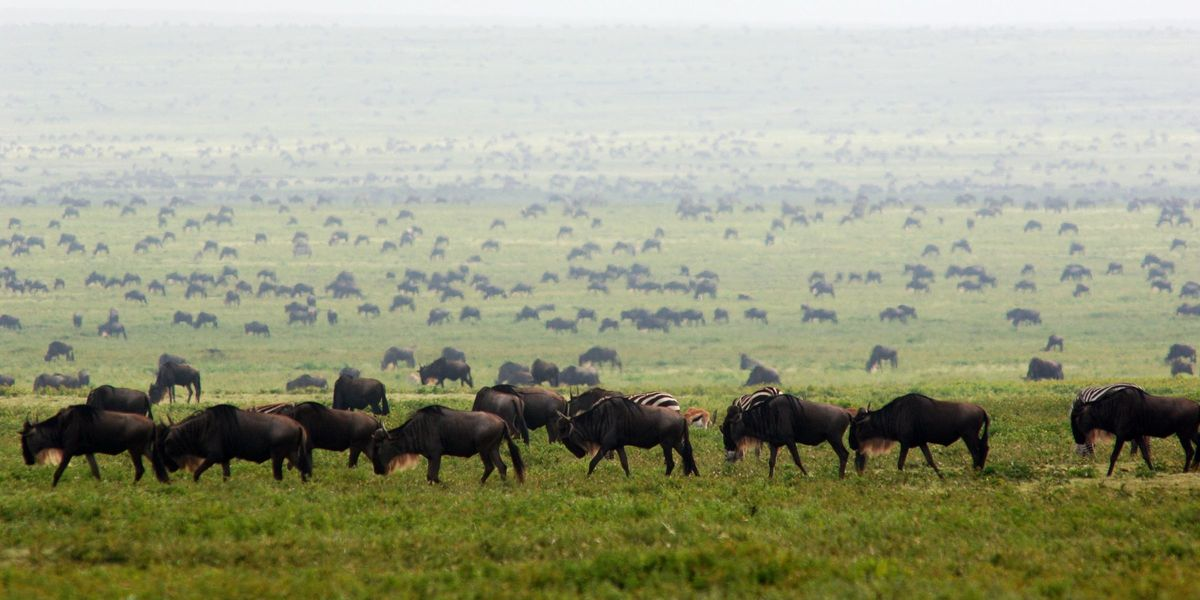 The Great Migration at Ubuntu Camp, Serengeti National Park, Tanzania